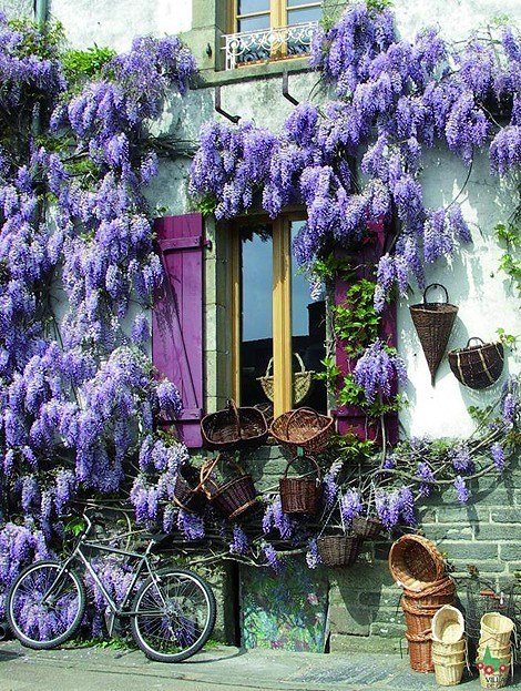 bicycle,flowers,france,Hall of Fame,house,Wisteria