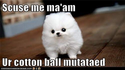 cotton ball dogs Fluffy pomeranian puppy - 6241356032