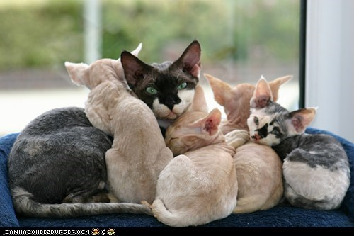 Cats,cyoot kitteh of teh day,devon rex,families,family,kitten,mama,moms