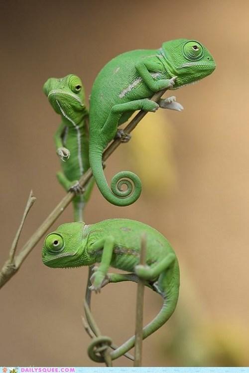 branches chameleon chameleons climbing green lizard lizards squee tree - 6243840000