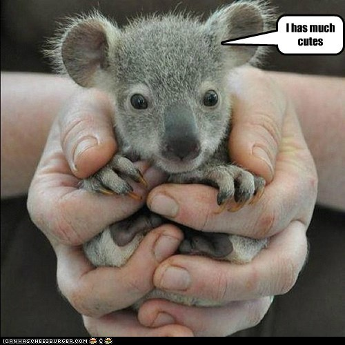 cute,hands,koala,koala joey