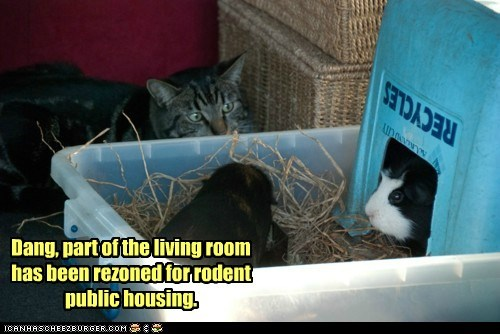 guinea pigs housing living room public rodent zoning