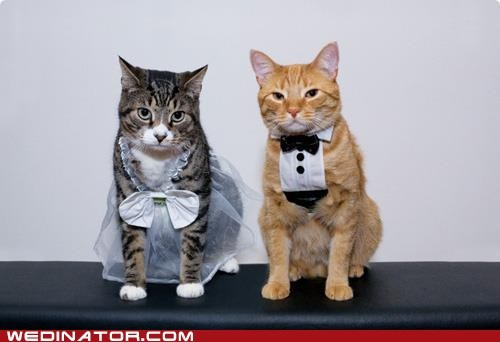animals Cats dressed up funny wedding photos Hall of Fame kittehs marriage marry weddings - 6249950720
