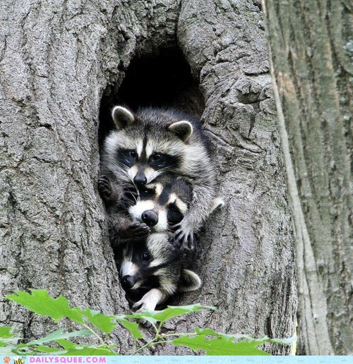 Hall of Fame,masks,pile,pile up,piled,raccoon,raccoons,squee,squished,tree,trees