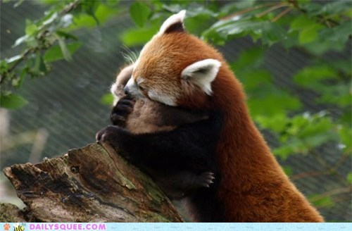 baby hugs mommy moms red panda red pandas squee there there - 6250207744