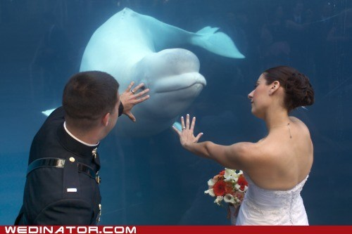 aquarium belugas funny wedding photos whales - 6250243072