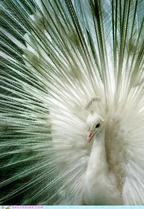 bird feathers peacock peahen white