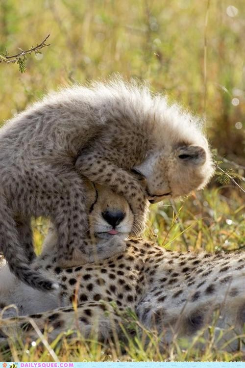 annoying,baby,big cats,cant-see,cheetah,cheetahs,Hall of Fame,hat,kids,mommy,moms