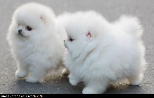 cyoot puppy ob teh day fluffy puppy pomeranian - 6250722048