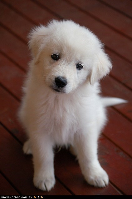 goggie ob teh week,maremma sheepdog,puppy