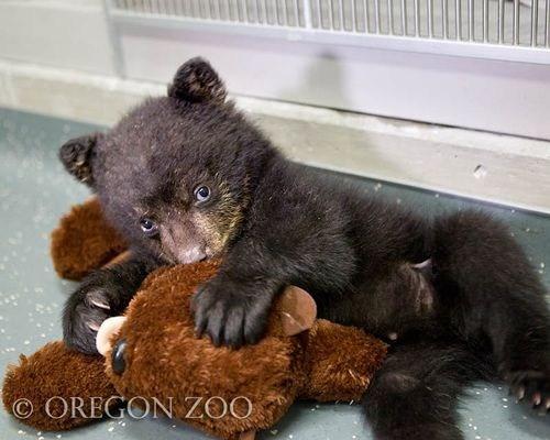 black bear cub orphan omg-adorbz - 6253367808