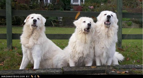 friends,goggie ob teh week,maremma sheepdog