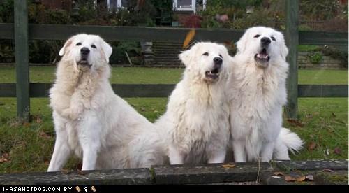 friends goggie ob teh week maremma sheepdog - 6253860608
