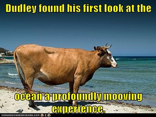 cow,dudley,first look,moo,moving,ocean,profoundly,puns,Staring,water