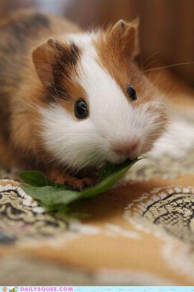 hamster,squee,veggies