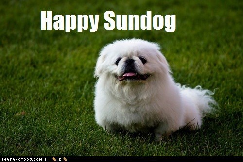 dogs happy shih tzu Sundog - 6254500608