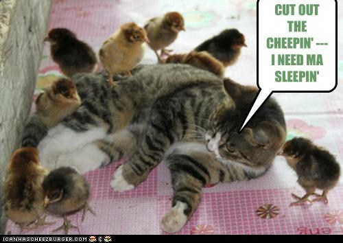 cat,chicks,sleep