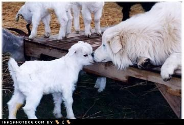 dogs,goggie ob teh week,lamb,maremma sheepdog