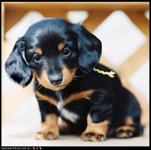 cyoot puppy ob teh day dachshund puppy - 6257421312