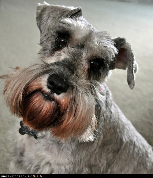dogs face off goggie ob teh week miniature schnauzer - 6261134848