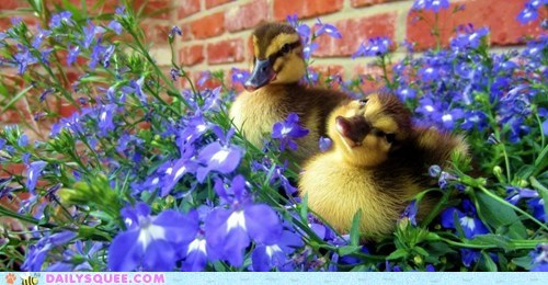 baby,birds,ducklings,ducks,flowers,squee,summer