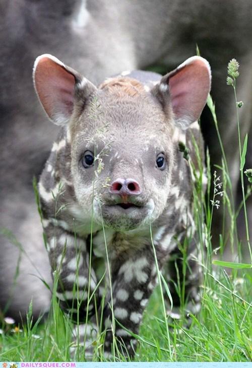 baby curious ears nose spots tapir - 6261388288