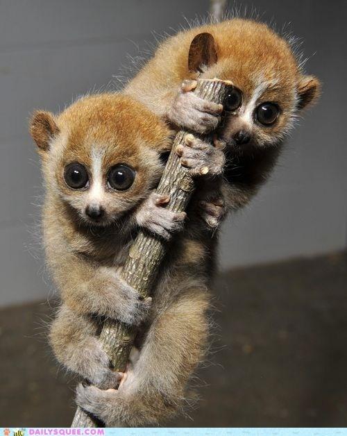 Babies climbing loris squee spree twins - 6261546240