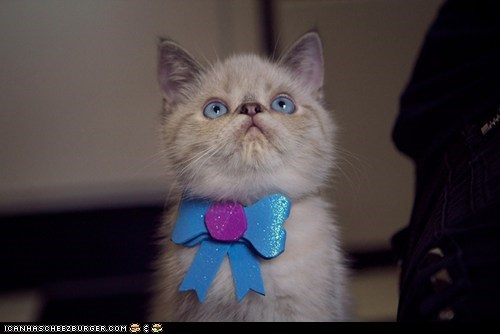 bows Cats cyoot kitteh of teh day fancy kitten ribbons sparkles sparkly - 6261583104