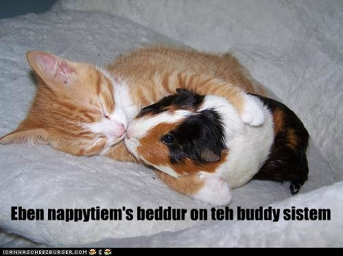 cat cuddle guinea pig KISS kitten nap sleep - 6261775616