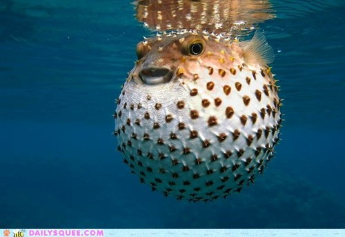 fish inflated Puffer Fish round underwater