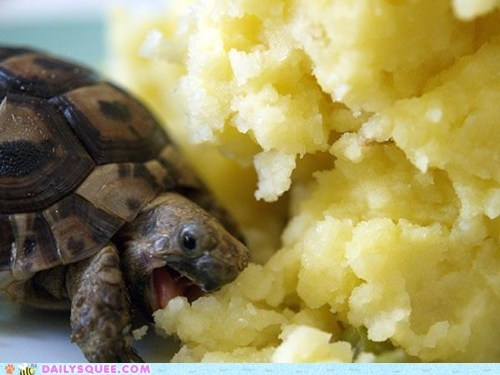 Ermahgerd food Hall of Fame mashed potatoes mouthful nom potatoes squee tortoise turtle turtles - 6263851008