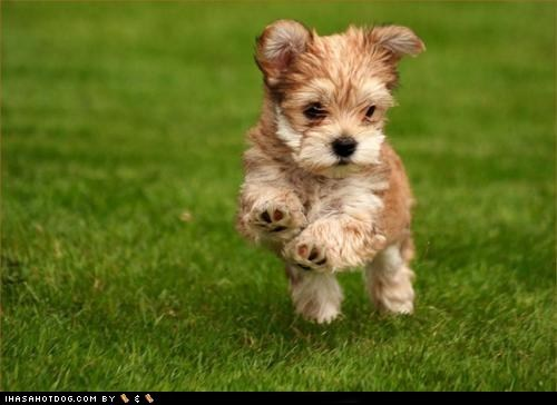cyoot puppy ob teh day jumping puppy yorkie - 6264635648