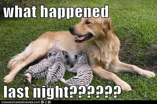 baby dogs golden retriever nursing tiger cub - 6266850560
