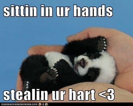cute,Hall of Fame,hands,heart,hearts,panda,panda bears,squee,steal your heart,stealing,tiny
