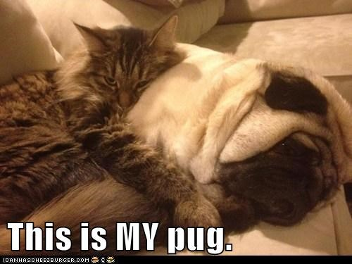 cat cuddle dogs hugs pug - 6268034560
