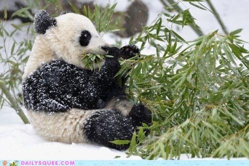 bamboo,noms,panda,panda bears,snack,snow,squee