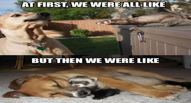 Funny Ferrets