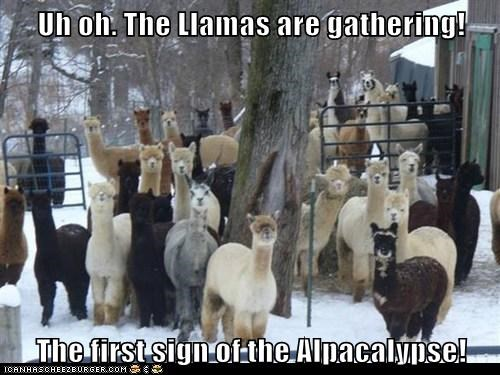 alpaca,apocalypse,best of the week,end,Fluffy,gathering,Hall of Fame,llamas,puns,uh oh