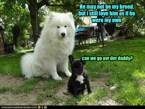 baby,boston terrier,daddy,dogs,fathers day,samoyed