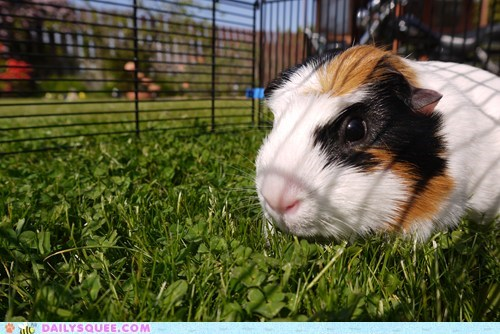 cage,grass,guinea pig,outside,pet,reader squee