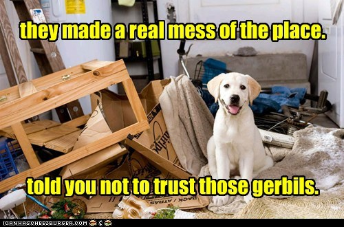 didnt-do-it dogs gerbil golden retriever mess