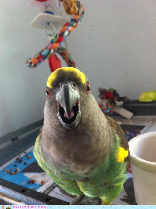 angry birds,parrot,pet,reader squee,scream