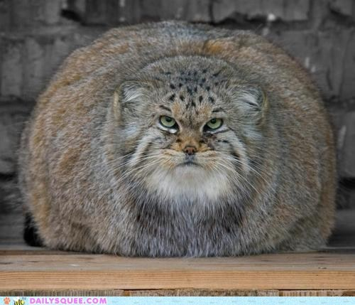 big cat Cats fatty kitty pallas cat squee overdose