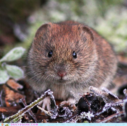 bank vole,frost,rodent,squee