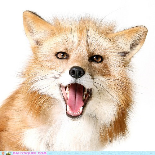 amazing food,awesome,fox,open mouth,tongue