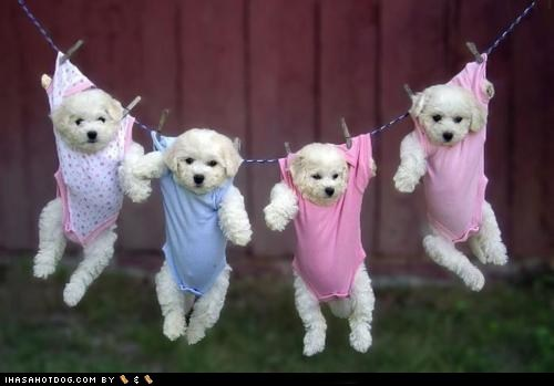 cyoot puppy ob teh day hanging laundry white terrier