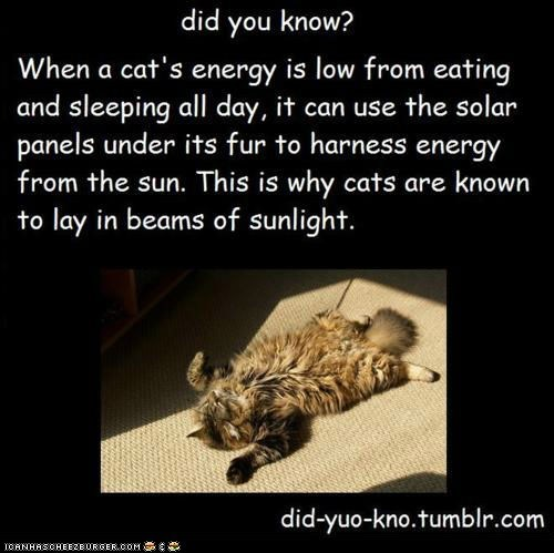 Cats did you know lazy lies sun sunbeams sunlight