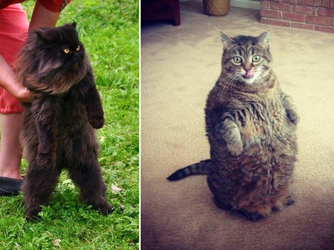 photographs and internet posts of cats standing upright