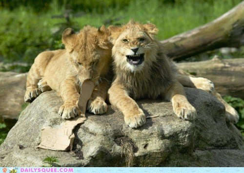 Babies,big cats,laughing at,lions,rock
