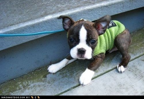 cyoot puppy ob teh day,french bulldogs,leash,puppy,walk